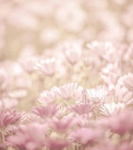 Daisy flowers field — Stock Photo