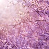 樱桃树开花 — 图库照片