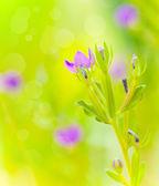 Lila vilda blommor — Stockfoto