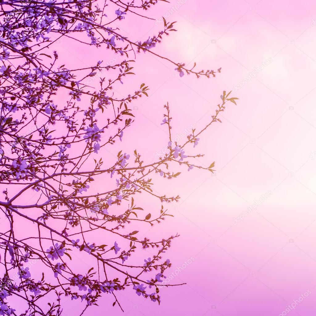 边框, 弹簧性质上白色的小花在美丽的粉红色日落背景