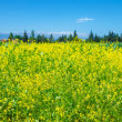 Rapeseed field of fresh flowers - Stock Photo