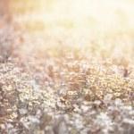 Daisy meadow — Stock Photo #24885283