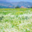 Stock Photo: Daisy flowers field