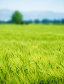 Fresh green wheat field — Stock Photo