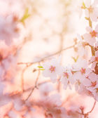 Spring blooming tree dreamy sunny background — Stock Photo