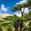 Stock Photo: Cedar trees