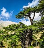 árvores de cedro — Foto Stock