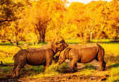Two fighting rhinoceros — Stock Photo