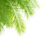 Palm tree leaves border — Stock Photo