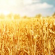 Wheat field in sunny day — Stock Photo