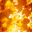 Stock Photo: Dry autumnal leaves background