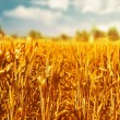 Beautiful wheat field  — Stock Photo