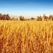 Stock Photo: Beautiful wheat field