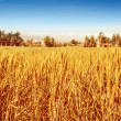 Beautiful wheat field — Stock Photo #30984095