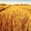 Golden wheat field — Stock Photo #30984115