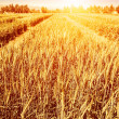 Wheat field in autumn — Stock Photo