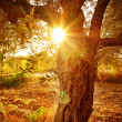 Sun beam through olive tree branch — Foto Stock