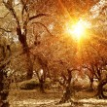 ������, ������: Olive trees garden in autumn