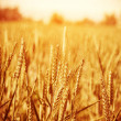 Golden wheat field — Stock Photo #31824917