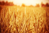 Golden wheat field — Foto Stock