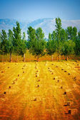 Many haycocks on golden dry field — Stock Photo
