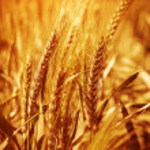 Wheat field background — Stok fotoğraf #31832691