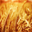Stock Photo: Yellow wheat field background