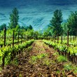 Fresh green vineyard — Stock Photo #32679793