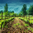 Fresh green vineyard — Stock Photo
