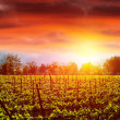 Grape valley in sunset — Stock Photo