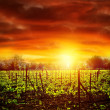 Vineyard in sunset — Stock Photo