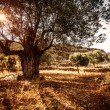 Beautiful olive tree — Stockfoto