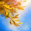 Olive tree branch — Stockfoto