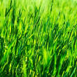 Fresh green grass background — Stock Photo #41291591