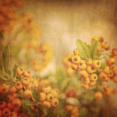 Rowanberry grunge background — Stock Photo