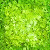 Fresh parsley background — Stock Photo