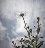 Grunge photo of daisy flowers — Stock Photo