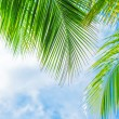 Fresh green palm tree foliage — Stock Photo
