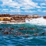 Постер, плакат: Wild South African seals