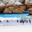 Wild South African penguins — Stock Photo