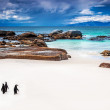 Wild South African penguins — 图库照片