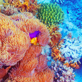 Clown fish swimming near colorful corals — Stock Photo