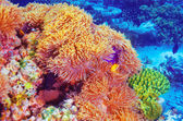 Clown fish  in coral garden — Stock Photo