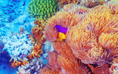 Clown fish near colorful corals — Stock Photo
