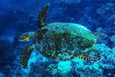 Big turtle undersea — Stock Photo
