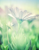 Soft focus of daisy field — Stockfoto