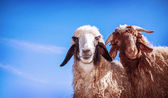 Two funny sheeps — Stock Photo
