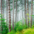 Beautiful pine tree forest — Stock Photo #50159825