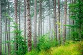 красивый сосновый лес — Стоковое фото