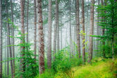 Beautiful pine tree forest — Stockfoto